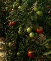 手島農園 男気トマト!
